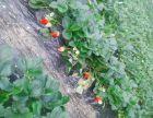 乳山火龙果草莓采摘园