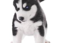 高品質哈士奇幼犬 包純種健康 包檢測簽協議