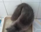 大庆市区漂亮的加菲蓝猫弟弟出售