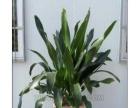 专业天河区室内植物出租花木租摆盆栽租赁机出售服务