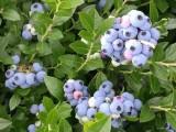 吉林蓝莓苗木批发 吉林蓝莓苗木价格