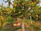 石榴树价格、石榴树苗、柿子树、山楂树、枣树、核桃树