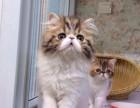 正规猫舍售高品质纯血统 波斯猫 签署质保 对外借配