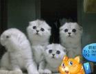出售纯种英短蓝猫,折耳猫,美短,纯种健康,会用猫砂