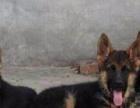 云南玉溪德牧常年出售纯种德牧是警犬狼狗