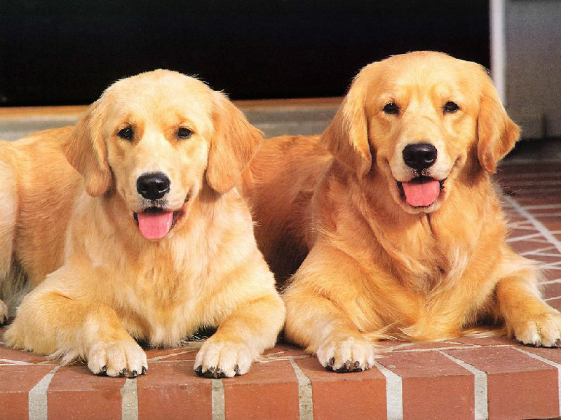 金毛犬 纯种金毛 金毛多少钱
