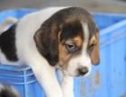 株洲纯种比格犬大概多少钱一只 在株洲什么地方能买到纯种比格犬