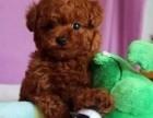 昆明本地狗场直销 泰迪熊幼犬 包健康保存活签协议
