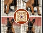 福州哪里有出售马犬福州马犬多少钱可以买到