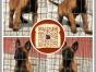 南京哪里有出售马犬南京马犬多少钱可以买到