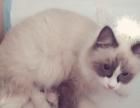 家养美短加白虎斑折耳猫,布偶猫出售借配