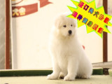 哪只有出售纯种萨摩耶犬舍基地 健康多少钱一只