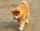 大型犬舍繁殖高品质秋田犬健康有保证欢迎上门