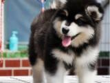 汕头金平出售宠物狗,阿拉斯加幼犬狗狗出售,包纯种,包健康
