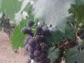 葡萄熟了!亲子活动不容错过!