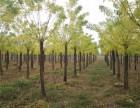 安顺50公分法桐树基地自产自销
