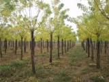 汉中15公分樱花树批发厂家在