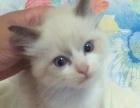 完美布偶猫 小母4只