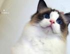 布偶猫咪海豹双色,蓝双色出售