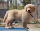 大头猎犬金毛宠物狗狗 可视频选购现货多只