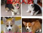 小柯基犬多少钱一只 柯基犬价格图片