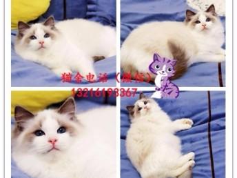 出售加菲/布偶/英短/藍貓/金吉拉/折耳貓/美短加白包純種