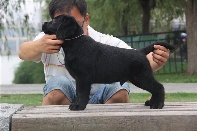 苏州出售德牧萨摩 拉拉 金毛犬 边牧 博美 柯基犬品种齐全