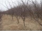 2公分3公分4公分占地杏树 梨树 核桃树 山楂树