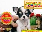 售精品 吉娃娃犬宝宝 基地直销 保纯种健康 欢迎实地挑选 -