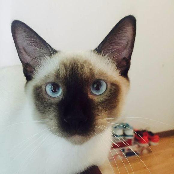 暹罗弟弟妹妹预定中 身体非常健康 图片都是现有的猫咪