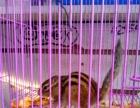 本店最后一只金花松鼠便宜卖了