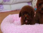 哪里出售泰迪犬 纯种泰迪多少钱