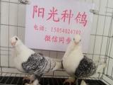 白燕子鸽,金鱼鸽,白球胸鸽,燕子鸽,两头乌鸽,马甲芙蓉鸽,
