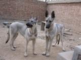 马犬养殖 马犬图片价格 纯种马犬幼犬价格