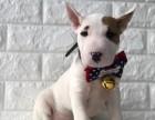 厦门出售2 4个月幼犬(牛头梗)疫苗齐签协议