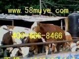 农业致富养殖牛羊驴 肉牛 鲁西黄牛 西门