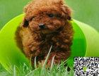 出售纯种贵宾幼犬 哪里卖健康贵宾多少钱 贵宾价格