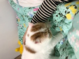 上海加菲猫有偿领养