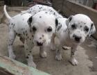 冬季必备撩妹神器 斑点狗 是你明智的选择