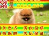常年出售纯种健康精品博美犬专业缔造完美品质签协议