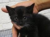 转让家猫金丝猫狸花猫小黑猫捕鼠猫蓝猫已打疫苗