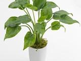 武汉绿植吸甲醛的植物铁线蕨盆栽,同城送货上门,喜阴植物铁线蕨