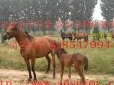养马,宠物马,矮马,袖珍马,马的养殖,马的价格,纯血马,养马基地