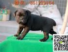 盐城卡斯罗出售 纯种卡斯罗犬多少钱 卡斯罗犬图片 卡斯罗幼犬