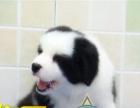 冠军级劳斯莱斯后代赛级小边牧幼犬免疫已做完待售