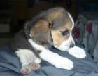 哪里有卖比格比格多少钱比格图片比格幼犬