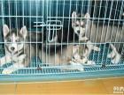 出售极品哈士奇幼犬--包健康包纯--可上门挑选