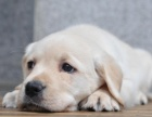 成都本地出售 上门低价 拉布拉多 疫苗齐全一可看狗