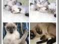 泰国引进纯种暹罗猫幼猫 个性十足性格温顺 宝石蓝眼