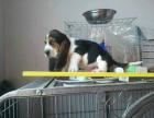 巴吉度宝宝 随时看狗 多窝选择 疫苗齐全